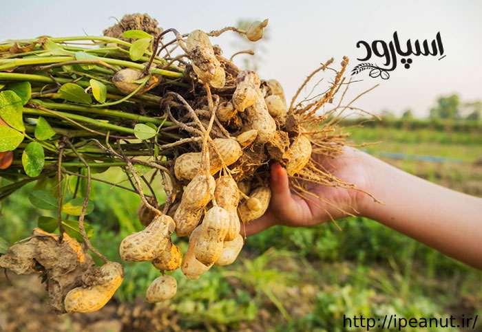 تولید بادام زمینی 98